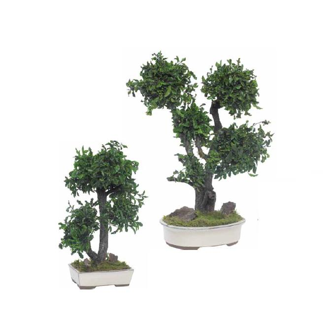 Bpi50 bonsai tenuifolium planta preservada de interior 2 for Bonsais de interior